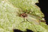 Microtendipes sp.