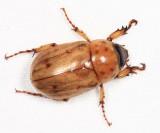 Honduras Scarabaeoidea (scarab, stag & bess beetles)
