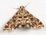 Acentropinae