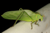 Honduras Tettigoniidae (katydids)