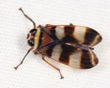 Coelidiinae - Teruliini