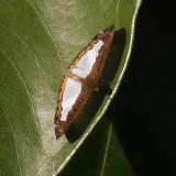 Variable Lemmark - Synargis mycone