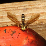 Stratiomyidae - Merosargus sp.