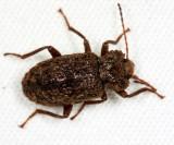 Honduras Tenebrionidae (darkling beetles)