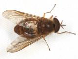 Tabanidae - Scione cf. maculipennis