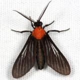 Psoloptera basifulva