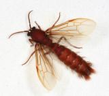 Nomamyrmex esenbecki (male Army Ant)