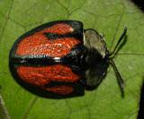 Tortoise Beetle - Cassidini - Cyrtonota tristigma