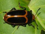 Iphiclus sp. (possibly haematocephalus)