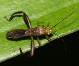 Alydidae - Hyalymenus sp.