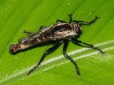 Asilidae - Eicherax sp.