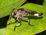 Asilidae - Efferia sp.