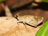 Common Brown-Skipper - Callimormus saturnus