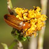 Blister Beetle - Meloidae