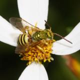Honduras Bees