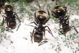 Dolichoderus validus/bispinosus