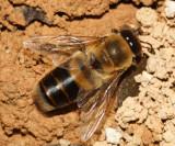 Honey Bee  - Apis mellifera (drone)