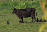 Cow & newborn calf with Black Vultures - Coragyps atratus