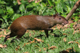 Central American Agouti - Dasyprocta punctata