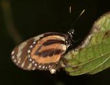 Tiger Mimic-Queen -  Lycorea cleobaea