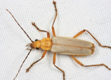 Soldier Beetle - Cantharidae