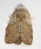 Lasiocampidae sp.