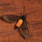Cosmosoma orathidia