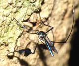 Honduras Diptera