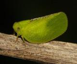 Acanalonia sp.