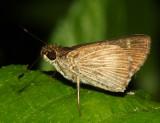 Pasture Skipper - Vehilius stictomenes
