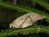 Orophus sp.