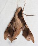 Callionima denticulata