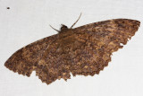 Marbled Witch - Letis orcynia