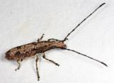 Anthribidae - Ptychoderes sp.