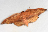 Draconia denticulata
