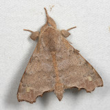 Olceclostera sp.