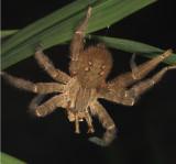 Ctenidae - Wandering Spider - Cupiennus salei