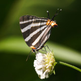 Zebra Cross-streak - Panthiades bathildis