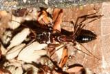 Trapjaw Ant - Odontomachus sp.