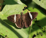 Two-spotted Banded Skipper - Autochton bipunctatus