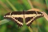 Thaos Swallowtail - Papilio thaos