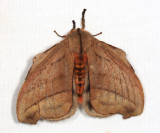 Hyperchiria sp.