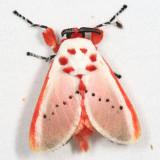 Trosia sp. nr. fallax