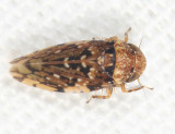 Iassinae - Gyponinae