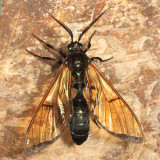 Trichura cerberus