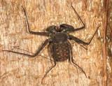 Tailless Whip Scorpion - Amblypygi