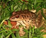 Leptodactylus sp.