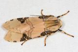 Halysidota sp.