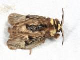 Megalopyge albicollis
