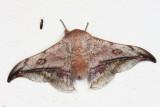 Cicinnus motagus